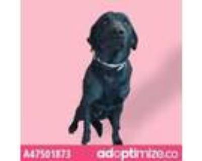 Adopt 47501873 a Black Labrador Retriever / Mixed dog in El Paso, TX (31524083)