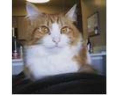 Adopt Ramses a Orange or Red Domestic Mediumhair / Mixed (medium coat) cat in