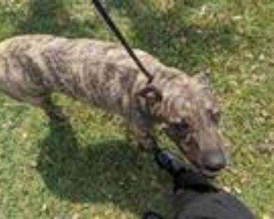 Adopt TANK a Brindle Mastiff / Mixed dog in Phoenix, AZ (31989788)