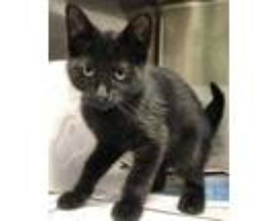 Adopt Galaxy a All Black Domestic Shorthair / Domestic Shorthair / Mixed cat in