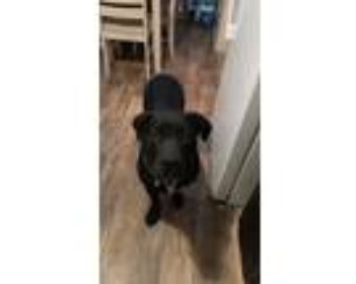 Adopt Whisky a Black - with White Labrador Retriever / Rottweiler / Mixed dog in