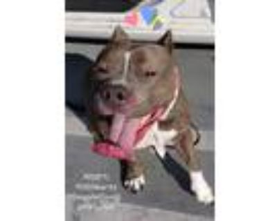 Adopt Adorable Charlee Pocket Pit LowRider a American Staffordshire Terrier