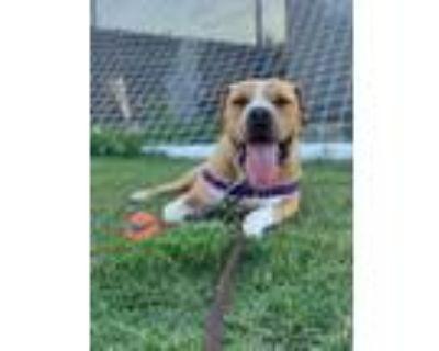 Adopt Saint a Pit Bull Terrier