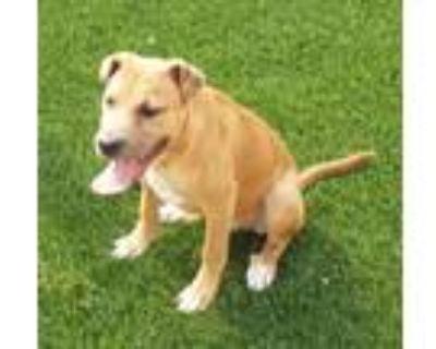 Adopt Clyde a Tan/Yellow/Fawn Boxer / Labrador Retriever dog in Colorado