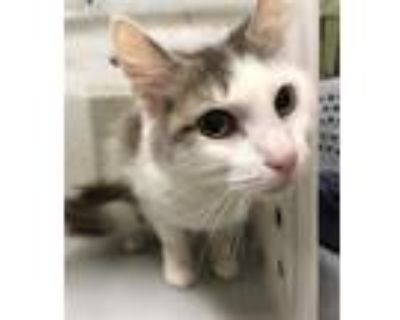 Adopt PEARL a White (Mostly) Domestic Shorthair / Mixed (short coat) cat in