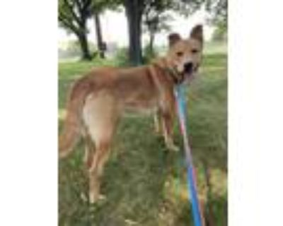Adopt Fisher a Retriever, Mixed Breed