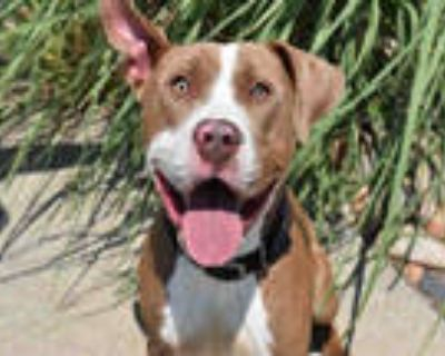 Adopt RUBICON a Brown/Chocolate - with White American Pit Bull Terrier / Mixed