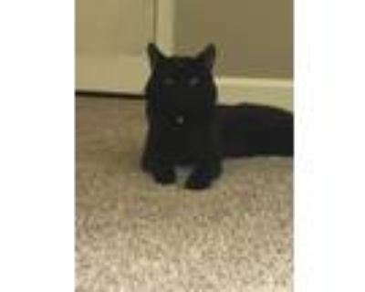 Adopt Kat a All Black American Shorthair / Mixed cat in Roswell, GA (32043701)