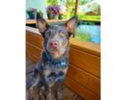 Adopt Meatball a Brown/Chocolate - with White Australian Cattle Dog / Mixed dog