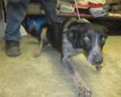 Adopt Buttercup a Australian Cattle Dog / Blue Heeler, Border Collie