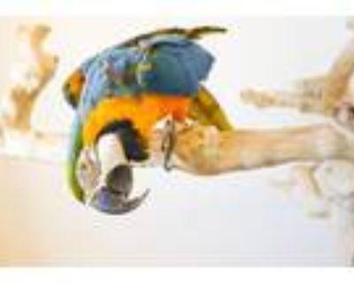 Adopt Madison a Macaw