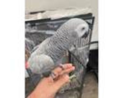 African Grey HEN, 7mnths old