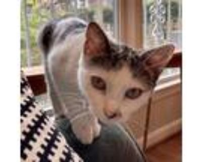 Adopt Rae a Gray or Blue Domestic Shorthair / Mixed cat in Fairfax Station