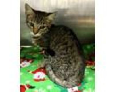 Adopt Catana +Kitten+ a Tan or Fawn Domestic Shorthair / Domestic Shorthair /