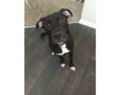 Adopt Vision a Black - with White American Pit Bull Terrier / Labrador Retriever
