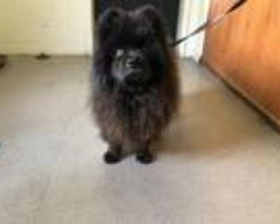 Adopt Ming a Black Chow Chow / Mixed dog in Marina del Rey, CA (32209044)