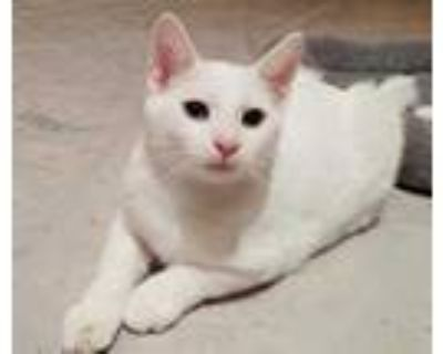 Adopt Hanalei a White Domestic Shorthair / Domestic Shorthair / Mixed cat in