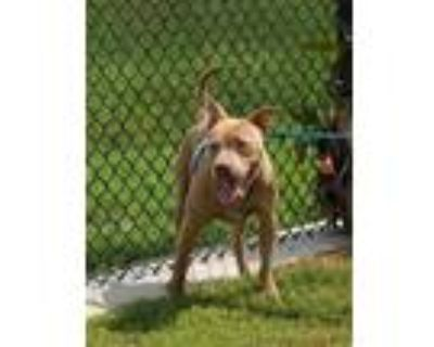 Adopt Kong a Pit Bull Terrier / Mixed dog in LAFAYETTE, LA (32035476)