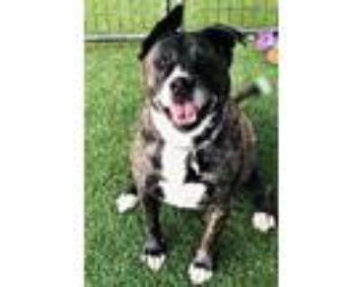 Adopt Xena a Brindle Akita / Mixed dog in Rio Rancho, NM (31100788)