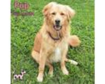 Adopt Pup a Tan/Yellow/Fawn Retriever (Unknown Type) / Mixed Breed (Large) /