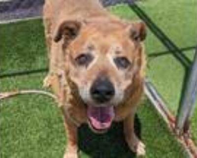 Adopt LIBERTY a Tan/Yellow/Fawn Labrador Retriever / Mixed dog in Phoenix