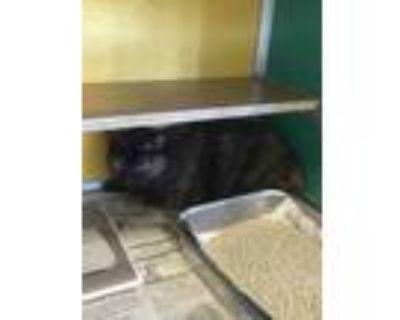 Adopt Kuroi a All Black Domestic Shorthair / Domestic Shorthair / Mixed cat in