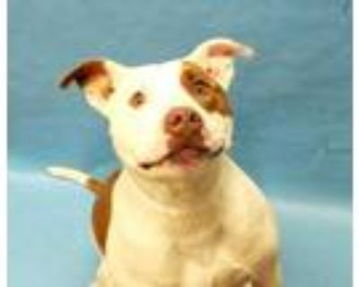 Adopt Wubba a White American Pit Bull Terrier / Mixed dog in Golden Valley