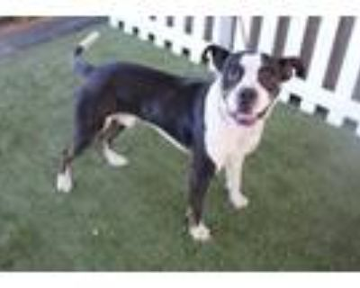 Adopt A554371 a Pit Bull Terrier, Mixed Breed