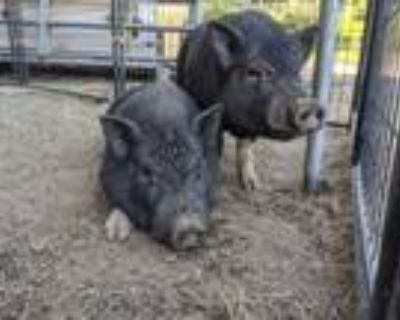 Adopt Toot & Puddle a Pig