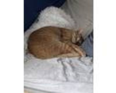 Adopt Oscar a Orange or Red American Shorthair / Mixed (short coat) cat in