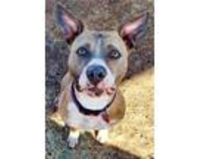 Adopt Halo a Pit Bull Terrier, American Staffordshire Terrier