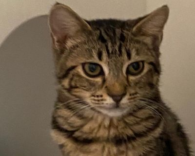 Alexandria - Domestic Shorthair - Kitten Female