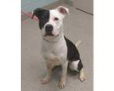 Adopt Clarabelle a White American Pit Bull Terrier / Mixed dog in Noblesville