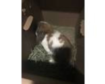 Adopt Raisin a White Lop, Holland / Other/Unknown / Mixed rabbit in Longmont