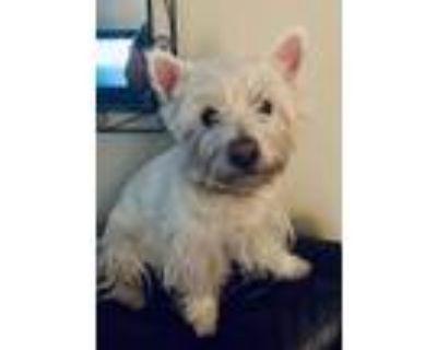 Adopt Dodger a West Highland White Terrier / Westie