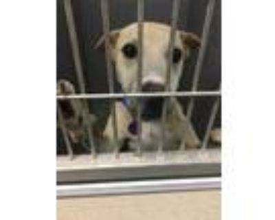 Adopt 47925075 a Tan/Yellow/Fawn American Pit Bull Terrier / Mixed dog in Los