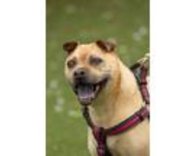 Adopt Zoe a Tan/Yellow/Fawn Pug / Shar Pei / Mixed dog in West Chester