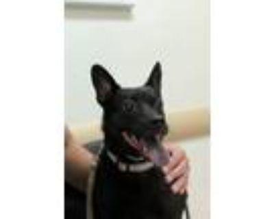 Adopt Bella a Black Rat Terrier / Miniature Pinscher / Mixed dog in Austin