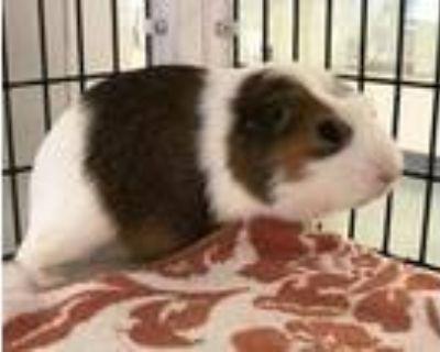 Adopt PADRE a Guinea Pig