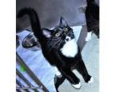 Adopt R245917 / Socks a Domestic Short Hair