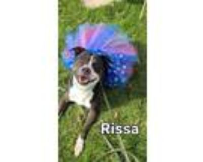 Adopt Rissa Yrly 174 a Pit Bull Terrier