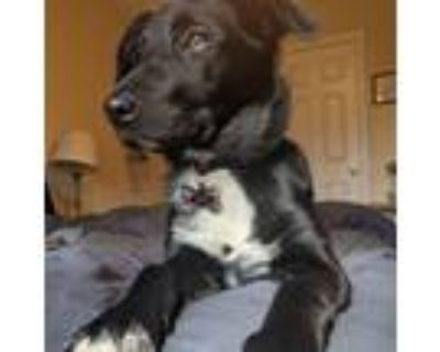 Adopt Nala a Black - with White Border Collie / Beagle / Mixed dog in
