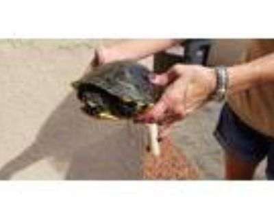 Adopt FREDDIE a Turtle - Other / Mixed reptile, amphibian