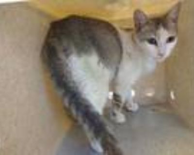 Adopt BEATRICE a White (Mostly) Domestic Shorthair / Mixed (short coat) cat in