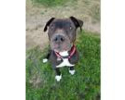 Adopt *HANK a Black - with White American Pit Bull Terrier / Mixed dog in