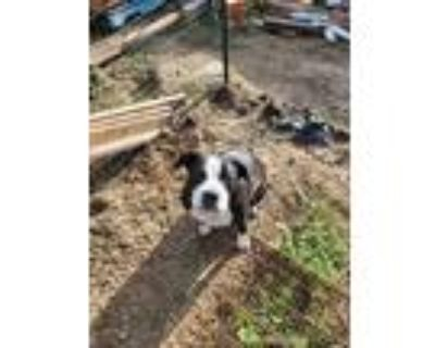 Adopt Querida a Black - with White Pit Bull Terrier / Mixed dog in Santa Monica