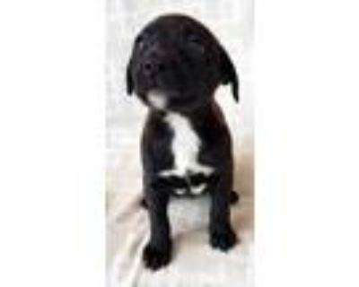 Adopt Chelsea a Black Labrador Retriever / Mixed dog in Burleson, TX (32117406)