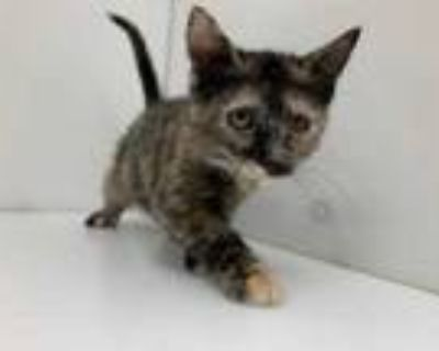 Adopt Lilac a All Black Domestic Shorthair / Mixed cat in Boulder, CO (32068310)