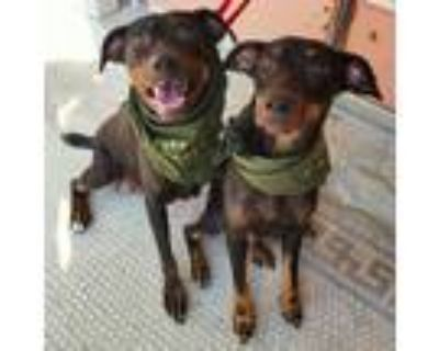 Adopt Rococo and Gothic a Black - with Tan, Yellow or Fawn Doberman Pinscher /