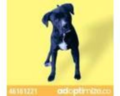 Adopt Onyx a Tan/Yellow/Fawn American Pit Bull Terrier / Mixed dog in El Paso